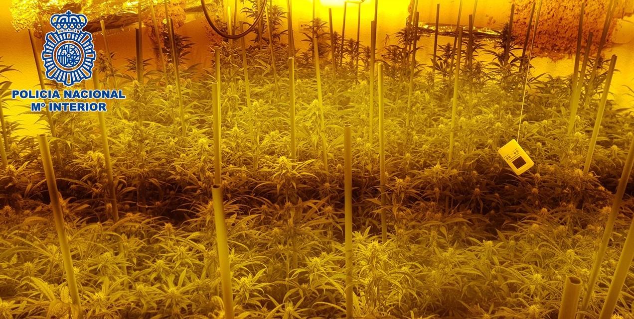 Plantación-Marihuana